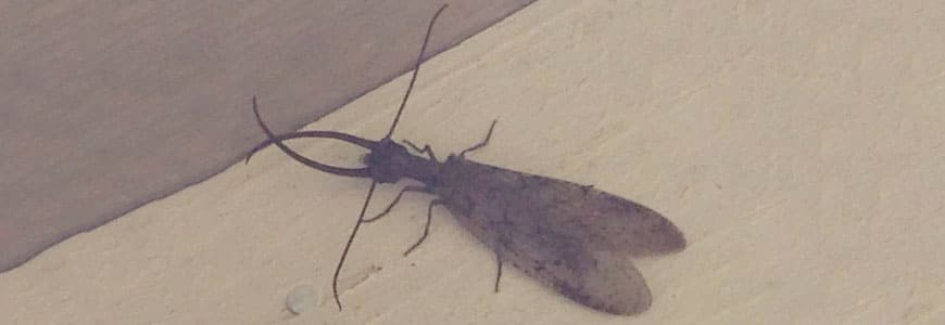 Bug Fact: Dobsonflies spend most of their life in the larval stage…