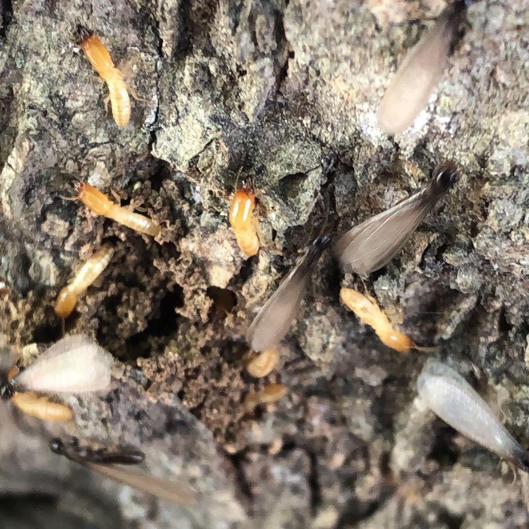 subterranean termites merit inspection and treatment