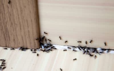 5 Steps to Get Rid of Ants